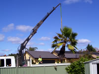 Palm tree removed by crane truck